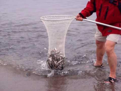 Capelin Fishing In NL, Canada In 2010.MPG