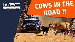 WRC Rally Guanajuato México 2016: Ogier-cow-incident