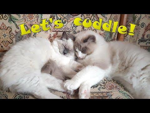Ragdolls cuddling with each other :)