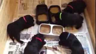Puppy feeding time 3weeks and 5days puppy porridge (blended puppy food)