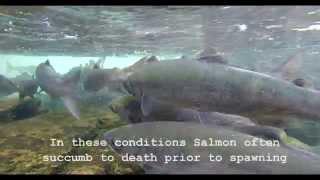 Global Changes Threaten Sockeye Salmon Run