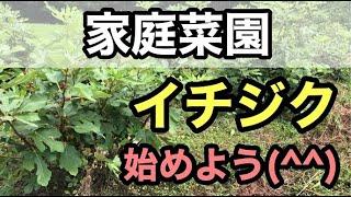 【家庭菜園におすすめ果樹】イチジク栽培【ネグローネ】のご紹介