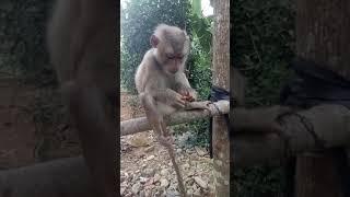 Khỉ ăn ớt