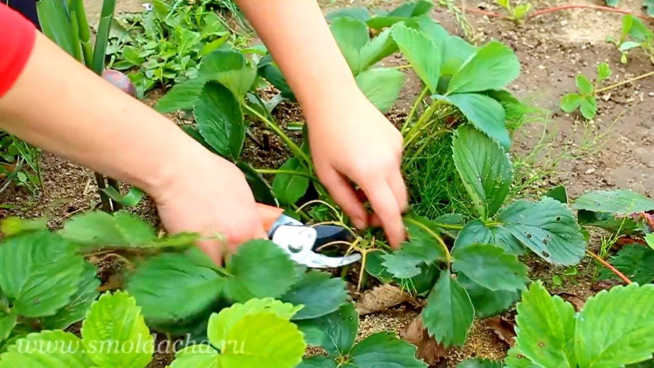 как ухаживать за клубникой после посадки осенью