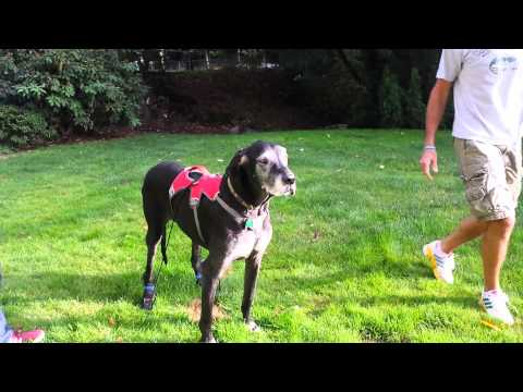 Anti-knuckling Device Works For Great Dane