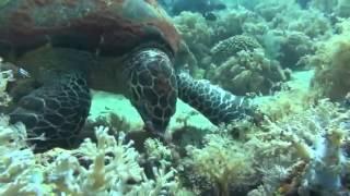 Видео Подводного Мира Черепахи
