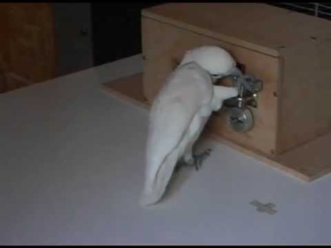 Cockatoos solve complex puzzles, pick five locks to get food