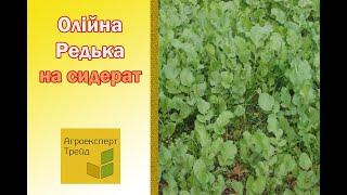 Масличная Редька на сидерат в Украине от Агроэксперт-Трейд