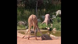Giraffes at Cheyenne Mountain Zoo