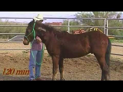 Wilder Mustang, Start unter Sattel auf der Miller-Ranch