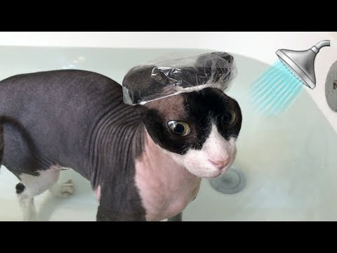 Sphynx Cat Takes a Bath with Tiny Shower Cap 🛁