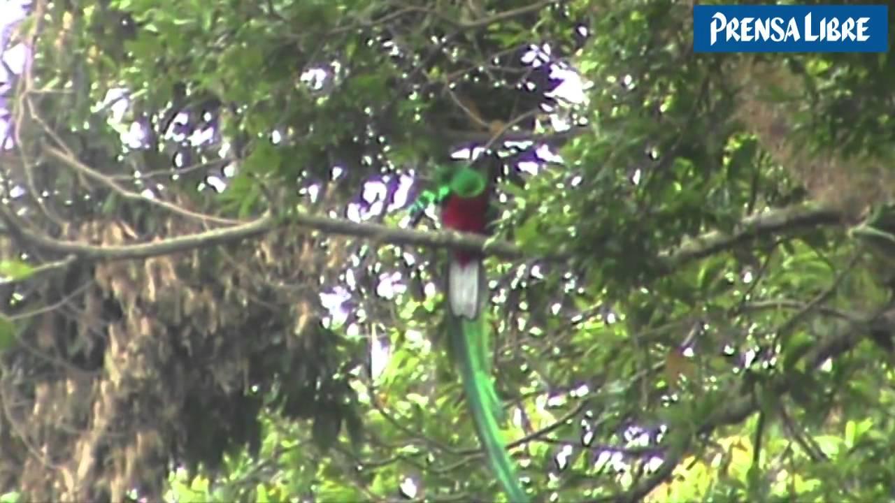 El Quetzal Simbolo Patrio Prensa Libre