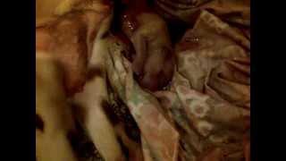 Dalmatian Puppy Being Born