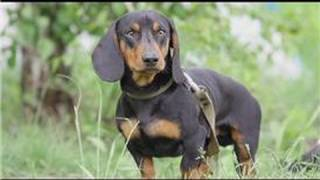 Dog Breeds & Dog Training : How To Care For A Miniature Dachshund