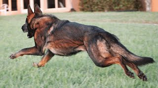 Important Tips on GSD Care | How to care for German Shepherd