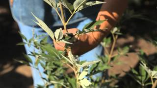 How to Prune Lilacs After Blooming : Fall & Winter Gardening Tips