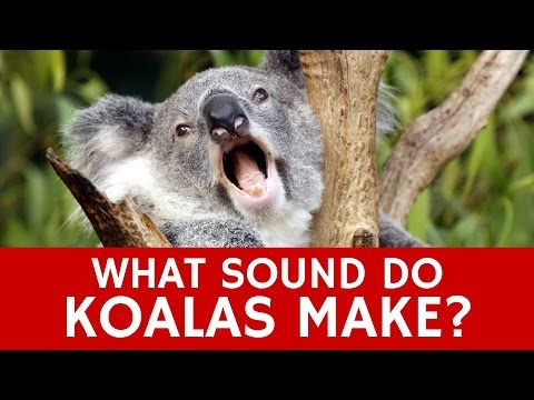 What Sounds do Koalas Make? Mystery of Animal's Voice