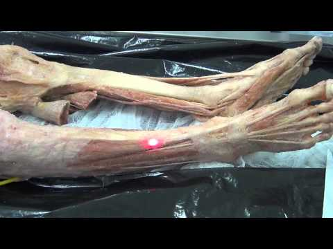 Мышцы голени на мышечном трупе.