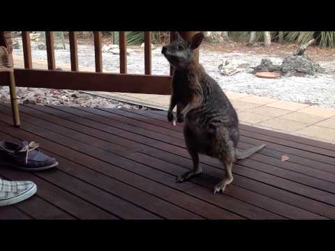 Cutest Wallaby