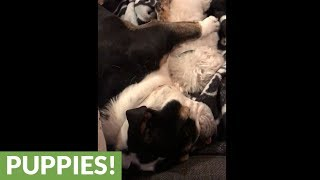 Bulldog cuddles with mini poodle for nap time