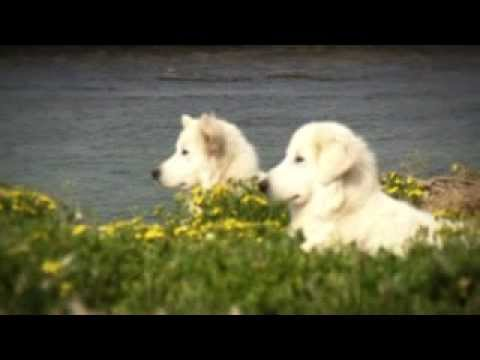 Middle Island Maremma Project | www warrnambool vic gov au
