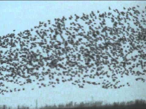 kinigi hinas sti roumania-hunting goose