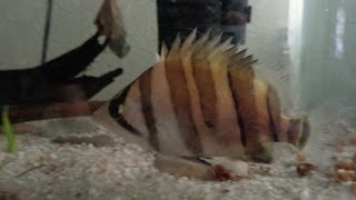 Datnoid fish one year old update!