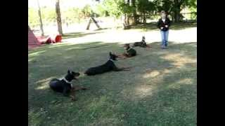 Florida Dog Academy - Doberman Training Session At The Kennel (02)