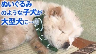 どんどん成長するチャウチャウ犬♡ 彼の「のんびりライフ」が最高にほっこりでした…