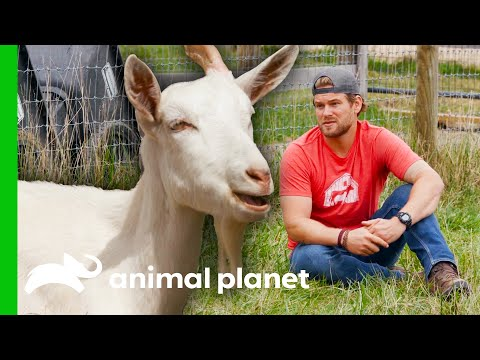 The Incredible Recovery Of These Goats Will Shock You!   Saved By The Barn