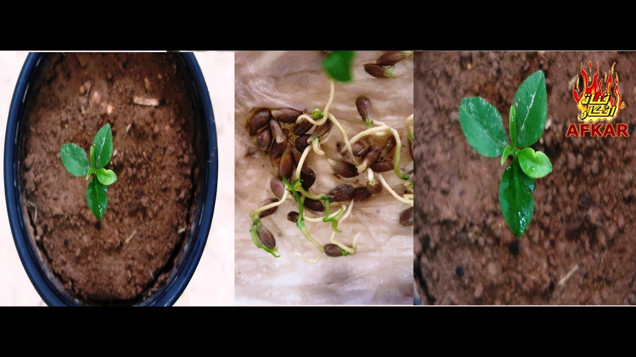 زراعة بذور الليمون في المنزل بنجاح كبير والحصول على اشجار صغير ة بسرعة فائقة Youtube