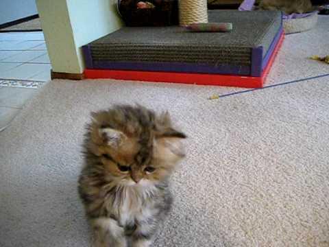 Cute Persian kitten, Egor 05.01.09 - 1