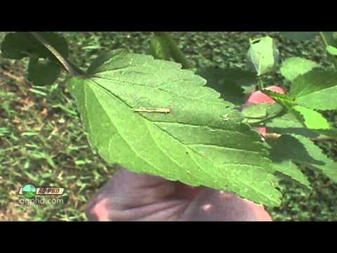 Weed Of The Week #822 - Prickly Sida (Air Date 1/5/14)