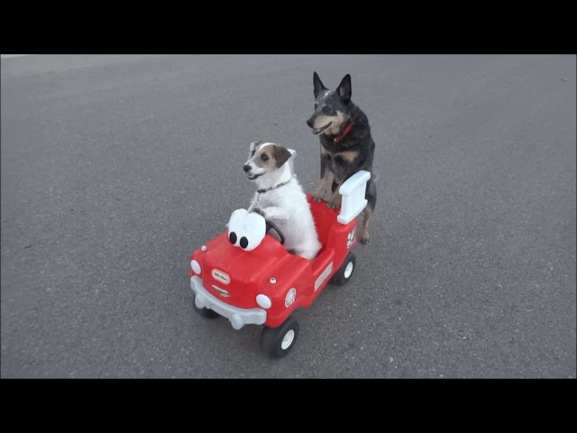Jesse's Pup Powered Car - Adorable Double Dog Trick