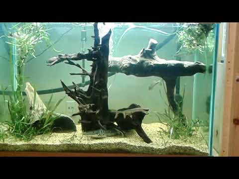 Feeding My Tiger Shovelnose Catfish And Bass