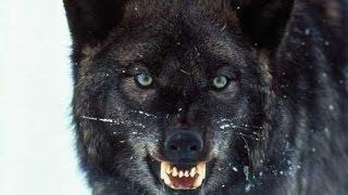 Восхождение чёрного волка HD