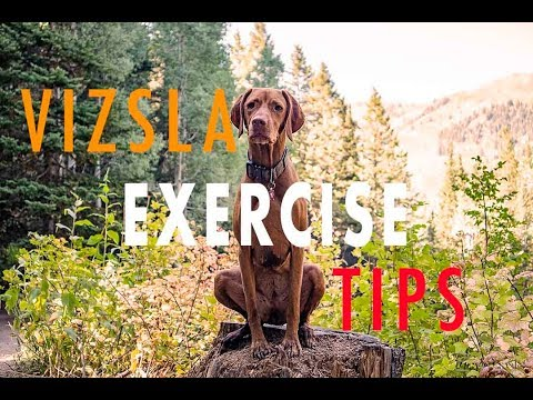 Tips on How to Exercise Your Vizsla - Video 111