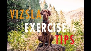Tips on How to Exercise Your Vizsla  Video 111