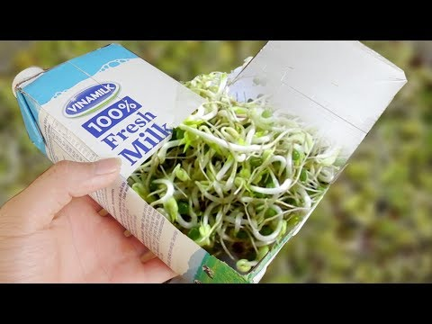 Using Milk Carton To Grow Bean Sprouts At Home