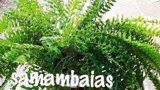 Como plantar e cultivar samambaias de maneira simples e fácil