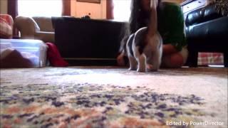 Beagle Puppies 5 Weeks