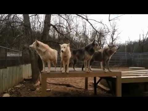 Haunting video shows pack of 30 WOLVES howling in perfect unison