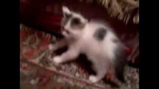 кот не любит котят