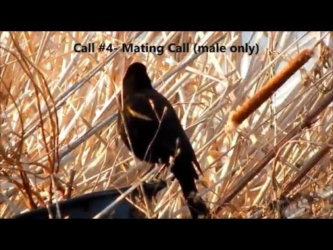 Red-Winged Blackbird Calls