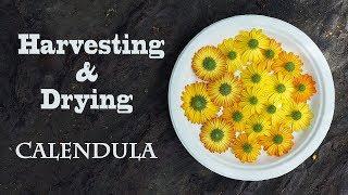 Harvesting and Drying Calendula