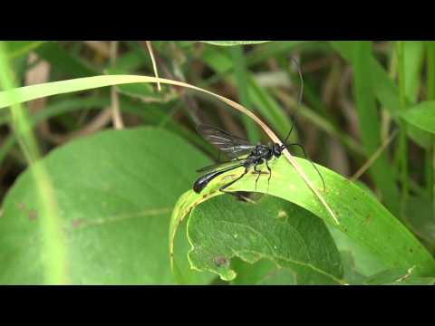 Pelecinid Wasp? (Pelecinidae: