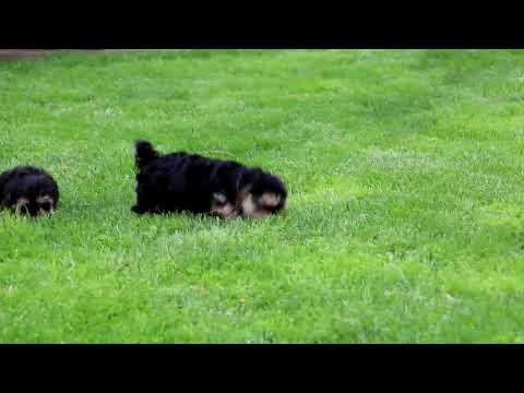 Morkie Puppies For Sale Priscilla Stoltzfus