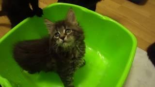 Котята мейн-кун купаются