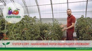 СУПЕР СОРТ - БАНАНОВЫЕ НОГИ ОШАРАШИЛ УРОЖАЕМ!