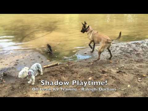 "8mo Belgian Malinois ""Shadow"" Before and After - Dog Training Raleigh Durham"